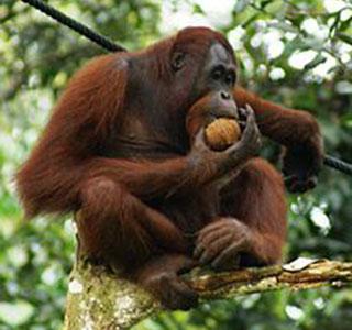 orangatun in borneo